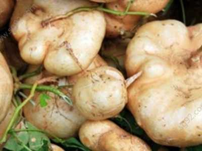 凉薯是地瓜吗 豆薯