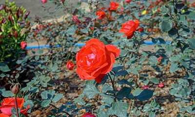 玫瑰花的功效和作用 玫瑰花的功效与作用