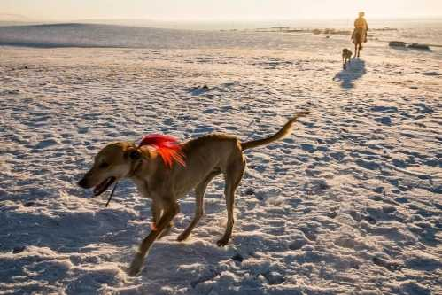 百里挑一唯有土猎 波音达猎犬能抓野兔吗